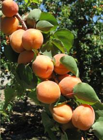 image apricotcluster-jpg