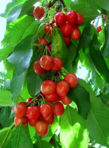 image cherries-jpg