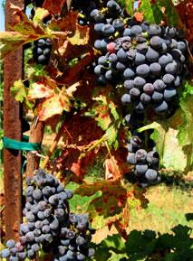 image grapeswpostcolor-jpg