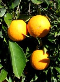 image oranges-jpg