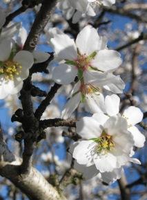 image springalmonds-jpg