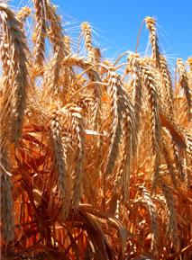 image wheathead-jpg