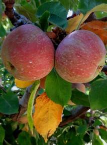 Apples at Apple Hill, California
