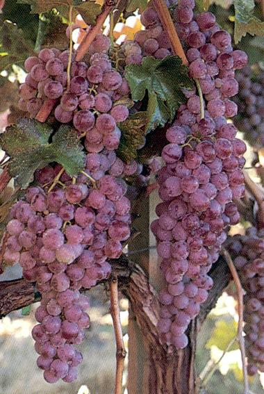 Grapes fertile soil solutions llc page 2 for Table grapes