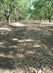 image almondwindrow-jpg