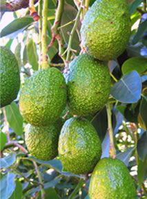 image avocados-jpg