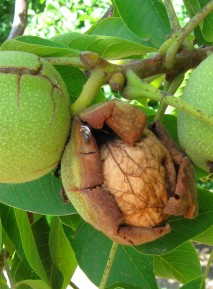 image indexgallery_walnuts_ripening-jpg