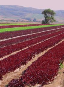 image lettuce-jpg
