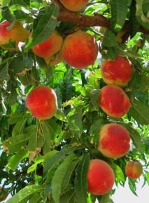 image nectarines-jpg
