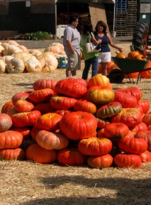 image pumpkinpile-jpg